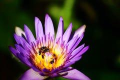 Lotosowy kwiat z pszczołą Zdjęcia Royalty Free
