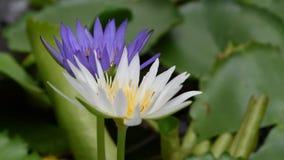Lotosowy kwiat z pszczołą zbiory