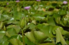 Lotosowy kwiatu czekanie Zdjęcia Royalty Free