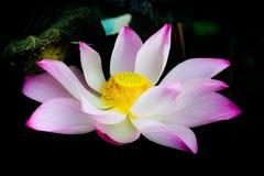 Lotosowy kwitnący piękny Zdjęcie Royalty Free