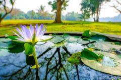 Lotosowy kwitnienie zdjęcia stock