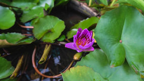 Lotosowy kwitnienie Fotografia Stock