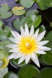 Lotosowy kwitnienie w lagunie Zdjęcia Stock