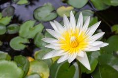 Lotosowy kwitnienie w lagunie Zdjęcia Royalty Free