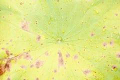 Lotosowy liść Fotografia Royalty Free