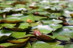 Lotosowy liść zdjęcie stock