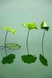 Lotosowy liść Zdjęcia Stock