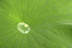 Lotosowy liść Obraz Stock