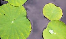 Lotosowy liść Zdjęcie Royalty Free