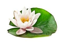lotosowy liść biel Zdjęcie Stock