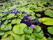 Lotosowy liść, lotosowego kwiatu kwitnienie Zdjęcia Stock