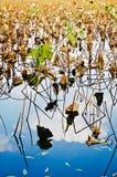 Lotosowy liść w zachodnim jeziorze Fotografia Royalty Free
