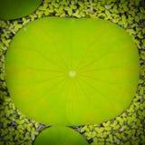 Lotosowy liścia tło Zdjęcie Stock