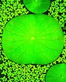Lotosowy liścia tło Obraz Stock