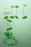 Lotosowy liść Obrazy Stock