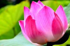 lotosowy natura kwiat Zdjęcia Royalty Free