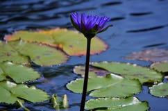 Lotosowy okwitnięcie w leluja ochraniacza stawie fotografia royalty free