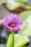 Lotosowy okwitnięcia kwitnienie Obraz Stock