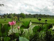 Lotosowy okwitnięcie i pole w Bali Obrazy Stock