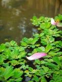 Lotosowy płatek na duckweed Fotografia Royalty Free