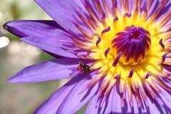Lotosowy pięknego, Purpurowego lotosowego owocolistka zakończenia up kwiat, Lotosowego kwiatu zakończenie up, Lotosowa okwitnięci Zdjęcie Stock