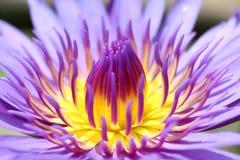 Lotosowy pięknego, Purpurowego lotosowego owocolistka zakończenia up kwiat, Lotosowego kwiatu zakończenie up, Lotosowa okwitnięci Fotografia Royalty Free