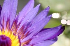 Lotosowy pięknego, Purpurowego lotosowego owocolistka zakończenia up kwiat, Lotosowego kwiatu zakończenie up, Lotosowa okwitnięci Obraz Royalty Free