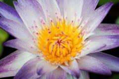 lotosowy pollen purpur kolor żółty Obraz Stock
