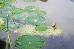 Lotosowy przejęcie Fotografia Royalty Free