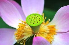 Lotosowy serce Fotografia Stock