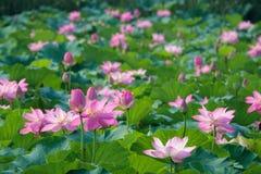 Lotosowy staw fotografia stock