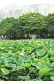 lotosowy staw Obraz Royalty Free