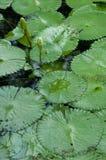 Lotosowy Staw Fotografia Royalty Free
