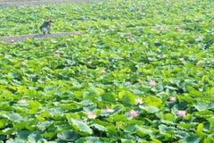 Lotosowy staw obraz stock