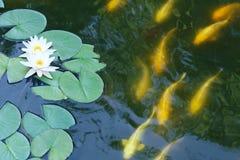 Lotosowy staw zdjęcia royalty free