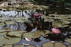 Lotosowy staw Obrazy Royalty Free