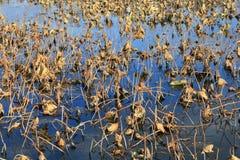 Lotosowy staw w jesieni Obrazy Stock