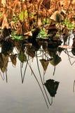 Lotosowy staw w zimie Zdjęcia Royalty Free