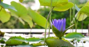 Lotosowy tło zdjęcie royalty free