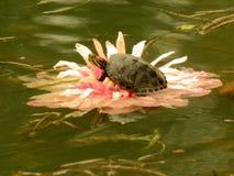Lotosowy tortoise moorhen Wang Lianchi królewiątko, teraz zdjęcie stock