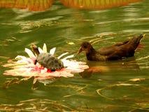 Lotosowy tortoise moorhen Wang Lianchi królewiątko, teraz obraz royalty free