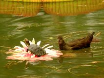Lotosowy tortoise moorhen Wang Lianchi królewiątko, teraz zdjęcia stock