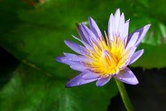 lotosowy vilet zdjęcia royalty free