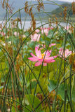 Lotosowy wschód, rzadki Przyroda, Zdjęcia Royalty Free