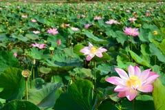 Lotosowych kwiatów pole Długi Xuyen Wietnam obrazy stock