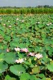 Lotosowych kwiatów pole Długi Xuyen Wietnam Obraz Stock