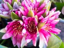 Lotosowych kwiatów tło Zdjęcia Stock