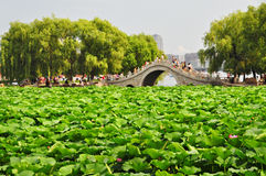 Lotosteich, Stadtpark, Changchun, China Stockfotografie