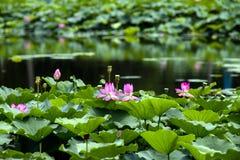 lotosu basen Zdjęcie Royalty Free