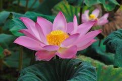 Lotosu kwiat Obraz Stock